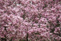De boom van de magnolia in de lente Royalty-vrije Stock Foto's