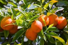 De boom van de mandarijn Stock Afbeelding
