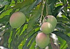 De boom van de mango Royalty-vrije Stock Foto