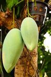 De boom van de mango Stock Afbeelding