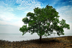 De Boom van de mangrove Stock Foto