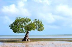De Boom van de mangrove Stock Fotografie