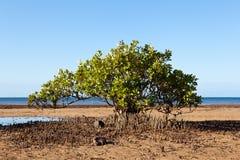 De Boom van de mangrove op Strand Stock Foto
