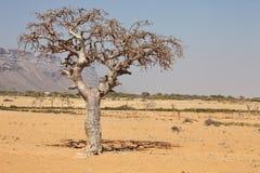 De boom van de mirre stock foto