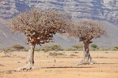 De boom van de mirre Stock Afbeeldingen