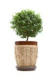 De boom van de mirte Stock Fotografie
