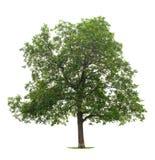 De boom van de okkernoot Royalty-vrije Stock Fotografie