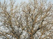 De boom van de okkernoot Royalty-vrije Stock Foto's