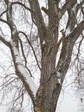 De boom van de okkernoot royalty-vrije stock afbeeldingen