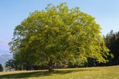 De boom van de okkernoot Stock Foto's