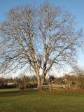 De boom van de okkernoot Royalty-vrije Stock Foto