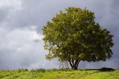 De boom van de okkernoot Stock Afbeeldingen