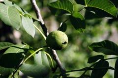 De boom van de okkernoot - Juglans regia Stock Afbeeldingen