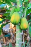 De Boom van de papaja stock afbeelding