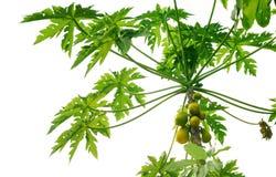 De boom van de papaja Stock Foto
