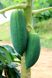 De boom van de papaja royalty-vrije stock afbeeldingen