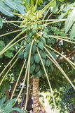 De boom van de papaja Stock Foto's