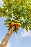De boom van de papaja Stock Afbeeldingen