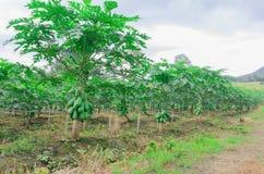 De boom van de papaja Royalty-vrije Stock Foto's