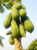 De boom van de papaja Royalty-vrije Stock Foto