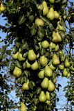 De boom van de peer Royalty-vrije Stock Foto's