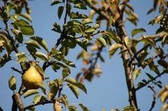 Baia Mare Pear Tree Stock Foto