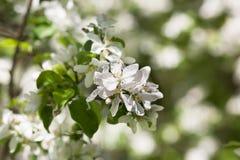 De boom van de perenbloesem op groene achtergrond Royalty-vrije Stock Fotografie