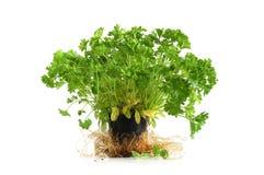 De boom van de peterselie Stock Foto