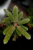 De boom van de pijnboom Royalty-vrije Stock Afbeeldingen