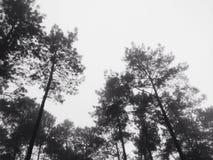 De boom van de pijnboom Stock Fotografie