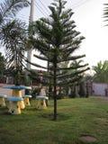 De boom van de pijnboom Royalty-vrije Stock Foto's