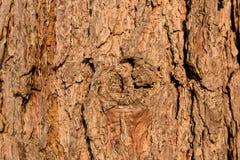 De boom van de pijnboom Royalty-vrije Stock Fotografie
