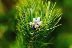 De boom van de pijnboom Royalty-vrije Stock Foto