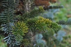 De boom van de pijnboom Stock Afbeelding