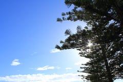 De boom van de pijnboom Royalty-vrije Stock Afbeelding