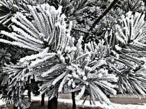 De boom van de pijnboom Stock Foto's