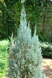 De boom van de pijnboom Stock Afbeeldingen