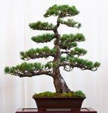De boom van de pijnboom als bonsai Royalty-vrije Stock Afbeelding