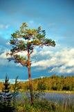 De boom van de pijnboom bij zonsondergang royalty-vrije stock foto