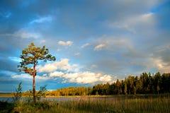 De boom van de pijnboom bij zonsondergang stock afbeelding