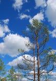 De boom van de pijnboom, blauwe hemel, witte wolken Royalty-vrije Stock Foto