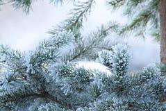 De boom van de pijnboom in de winterclose-up Royalty-vrije Stock Afbeeldingen