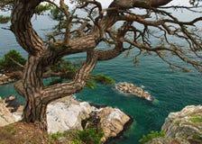 De boom van de pijnboom dichtbij overzees Stock Fotografie