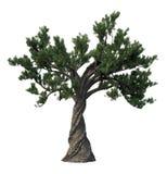 De boom van de pijnboom die op wit wordt geïsoleerdr Royalty-vrije Stock Fotografie