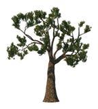 De boom van de pijnboom die op wit wordt geïsoleerdr Stock Afbeelding