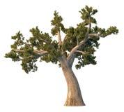 De boom van de pijnboom die op wit wordt geïsoleerdr Stock Foto's