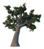 De boom van de pijnboom die op wit wordt geïsoleerdr Royalty-vrije Stock Afbeeldingen