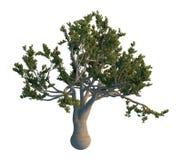 De boom van de pijnboom die op wit wordt geïsoleerdr Stock Fotografie