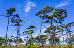 De boom van de pijnboom op blauwe hemel Stock Foto
