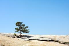 De boom van de pijnboom op de rots Stock Foto's